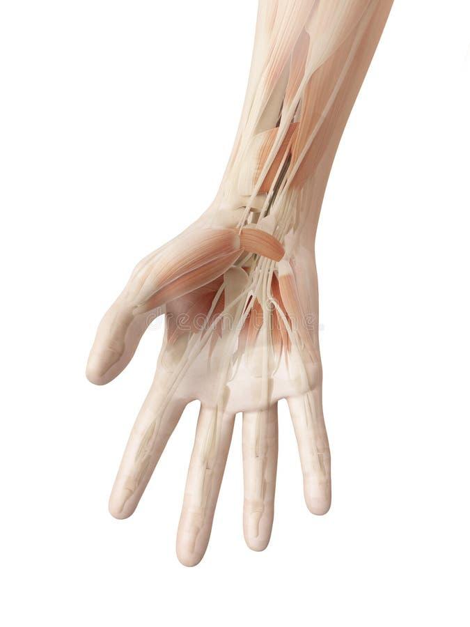 Anatomie Van De Menselijke Hand Stock Illustratie - Illustratie ...