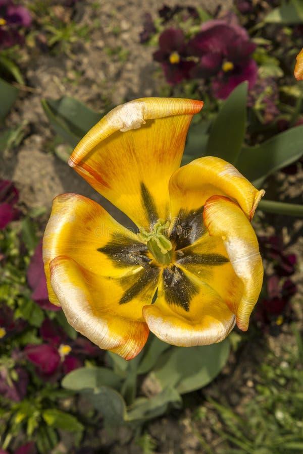 Anatomie van de tulp stock afbeeldingen