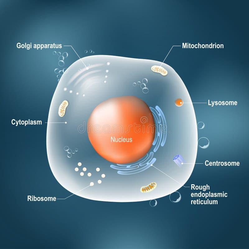 Anatomie van dierlijke cel vector illustratie