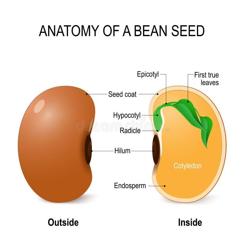 Anatomie van een boonzaad vector illustratie