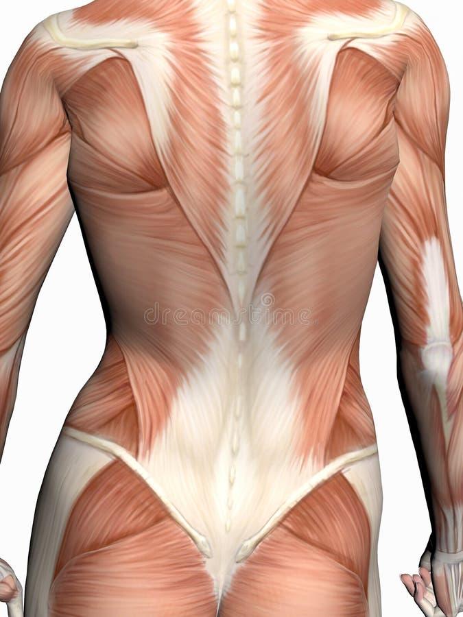 Anatomie van een vrouw. stock illustratie