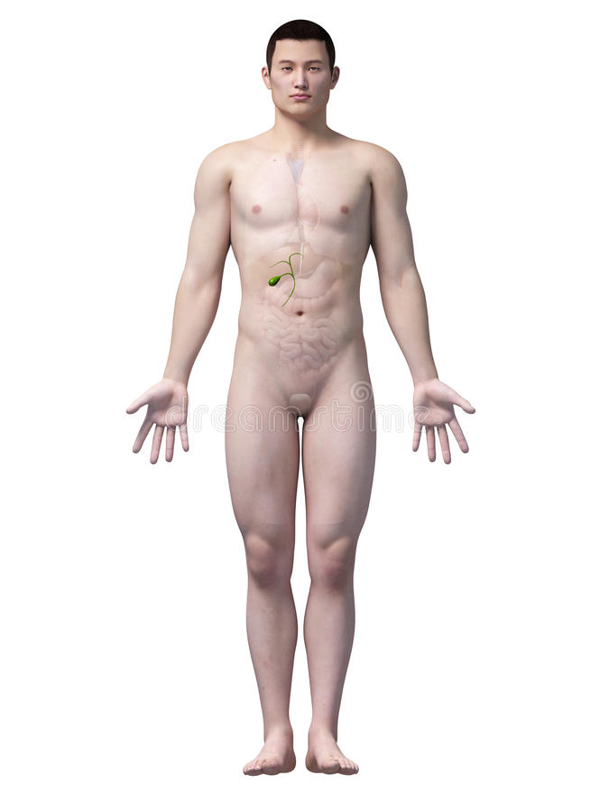 Anatomie van gallbladder royalty-vrije illustratie