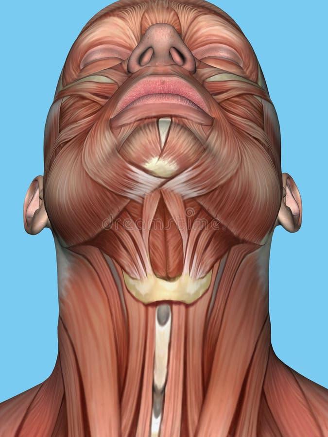 Anatomie van gezicht en halsspier royalty-vrije illustratie