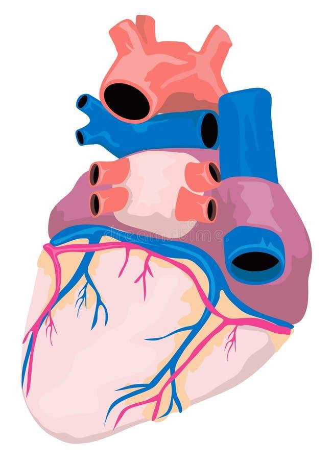 Anatomie van het hart stock illustratie