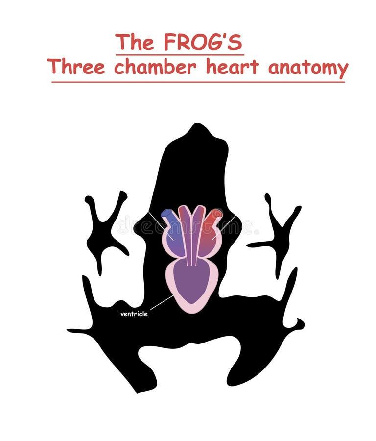 Anatomie van het kikkerhart op zwart de geïsoleerde hondsilhouet met schaduw Een deel van het zoogdierhart Anatomie van de illust stock illustratie