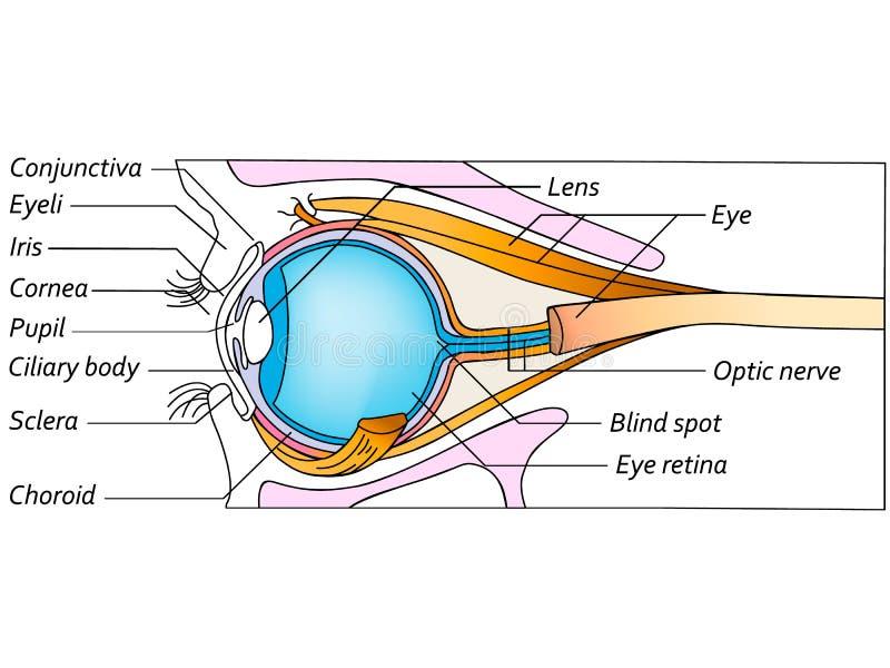 Anatomie van het oog, gedetailleerde illustratie royalty-vrije stock afbeeldingen