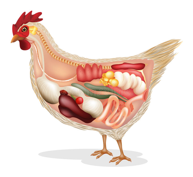 Anatomie van kip stock illustratie
