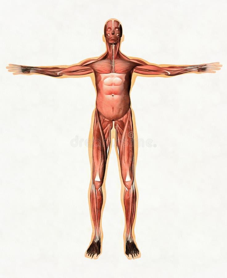 Anatomie van mannelijk spiersysteem - voorafgaande mening stock afbeelding