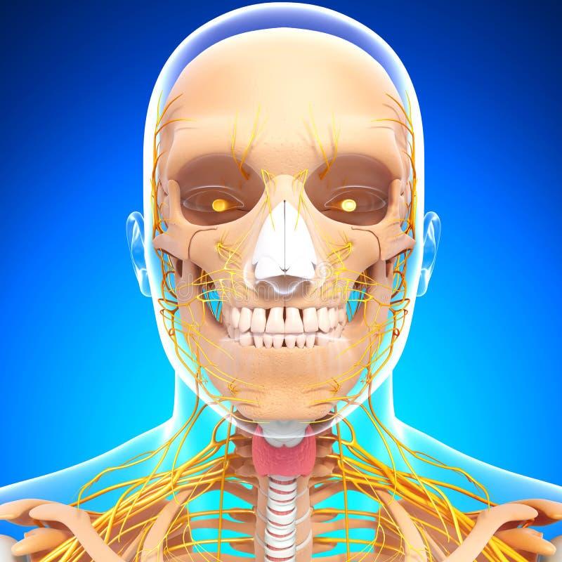 Anatomie van menselijk hoofd zenuwstelsel met keel stock illustratie