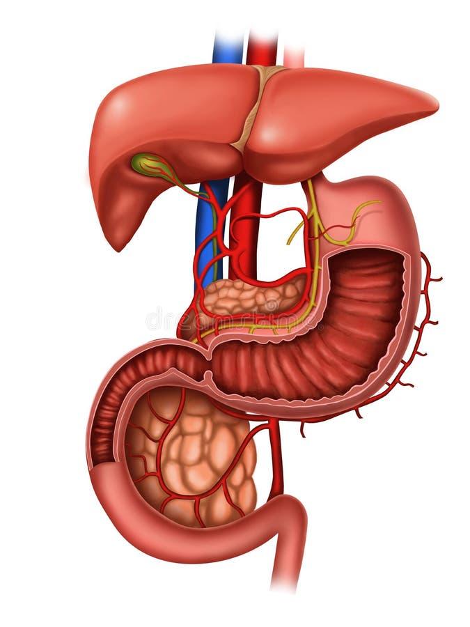 Anatomie van menselijk spijsverteringssysteem royalty-vrije illustratie