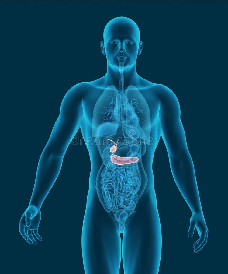 Anatomie van menselijke gallbladder en alvleesklier met spijsverteringsorganen stock illustratie