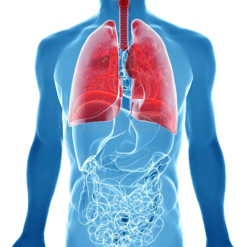 Anatomie van menselijke longen in x-ray mening stock illustratie