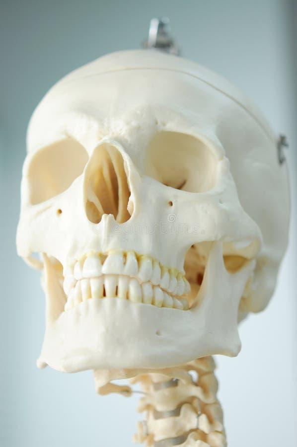 Anatomie Van Menselijke Schedel Stock Afbeelding - Afbeelding ...