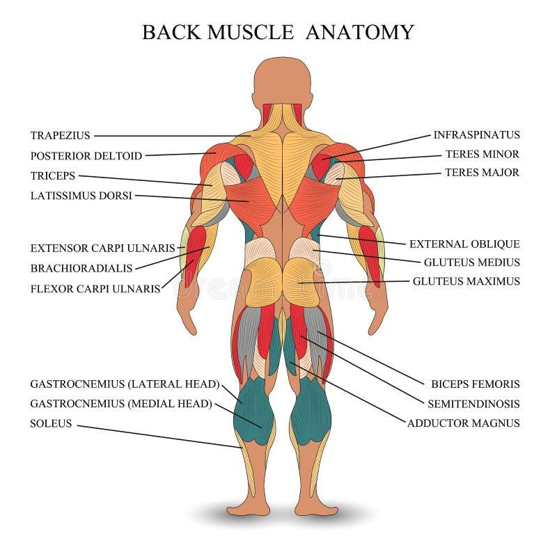 Anatomie van menselijke spieren in de rug, een malplaatje voor medisch leerprogramma, banner, vectorillustratie vector illustratie