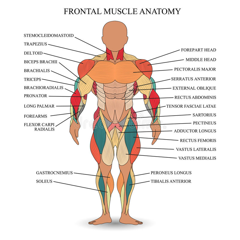 Anatomie van menselijke spieren in de voorzijde, een malplaatje voor medisch leerprogramma, banner, vectorillustratie royalty-vrije illustratie