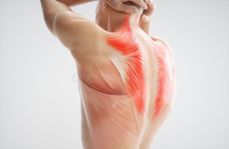 Anatomie van spierlichaam - het 3D Teruggeven vector illustratie