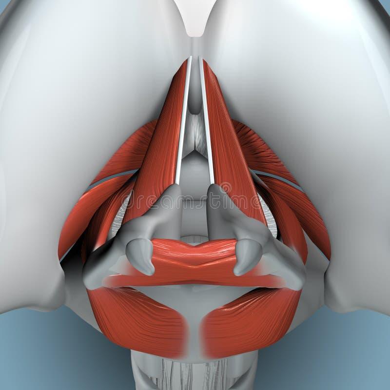 Anatomie van Strottehoofd royalty-vrije illustratie