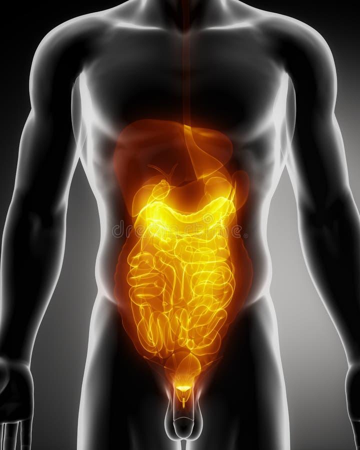 Anatomie von Abdomen stock abbildung