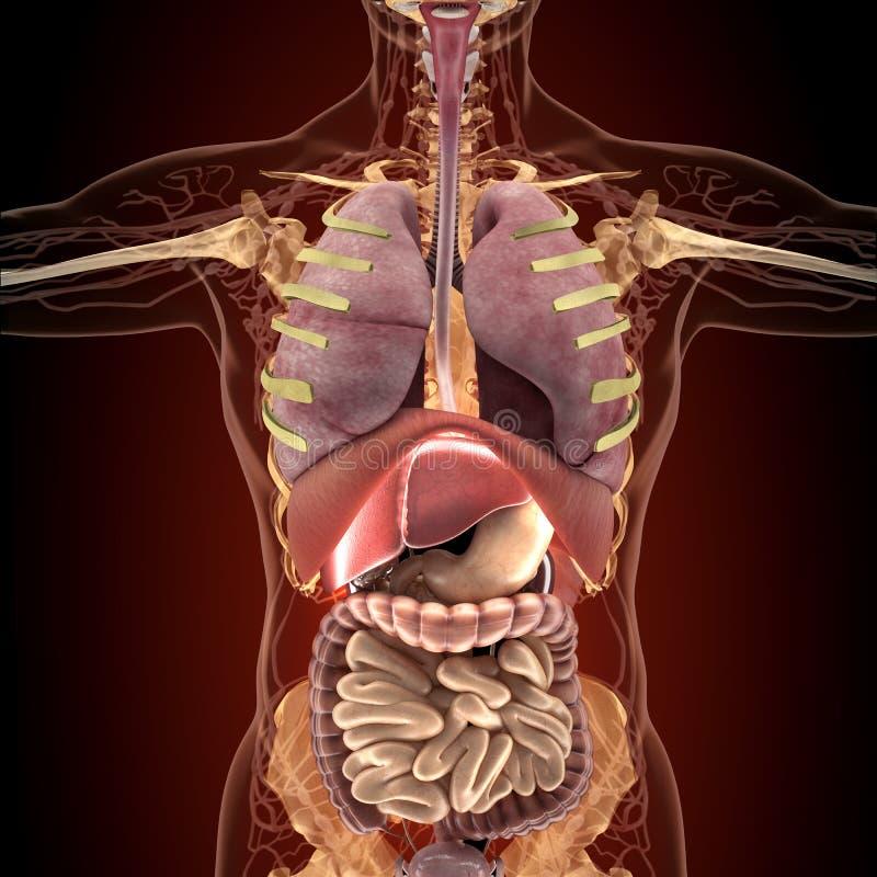 Berühmt Ansicht Von Menschlichen Organen Fotos - Menschliche ...