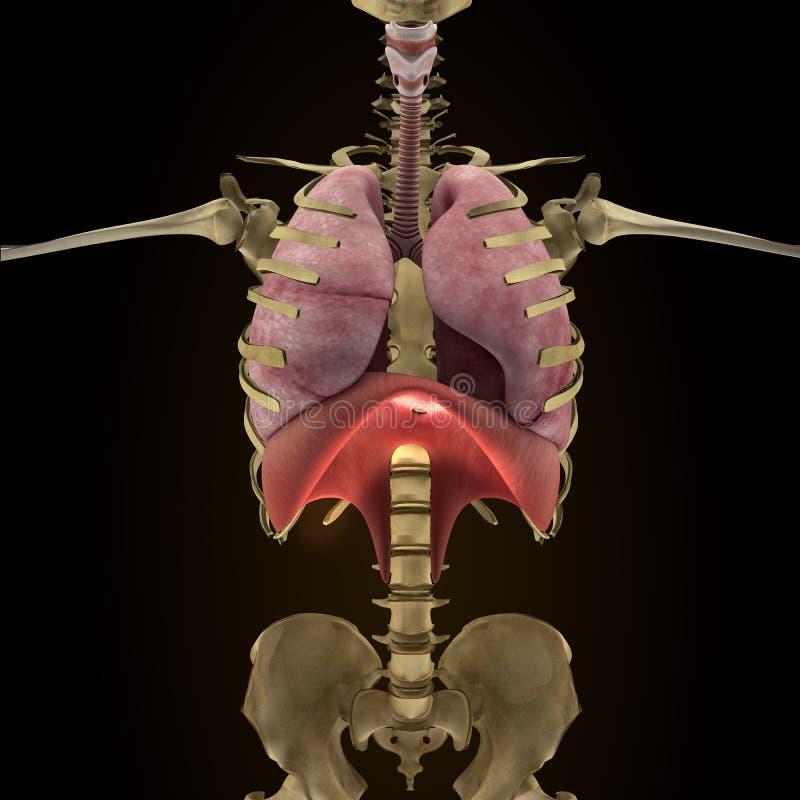 Anatomie von menschlichen Organen in der Röntgenstrahlansicht stock abbildung