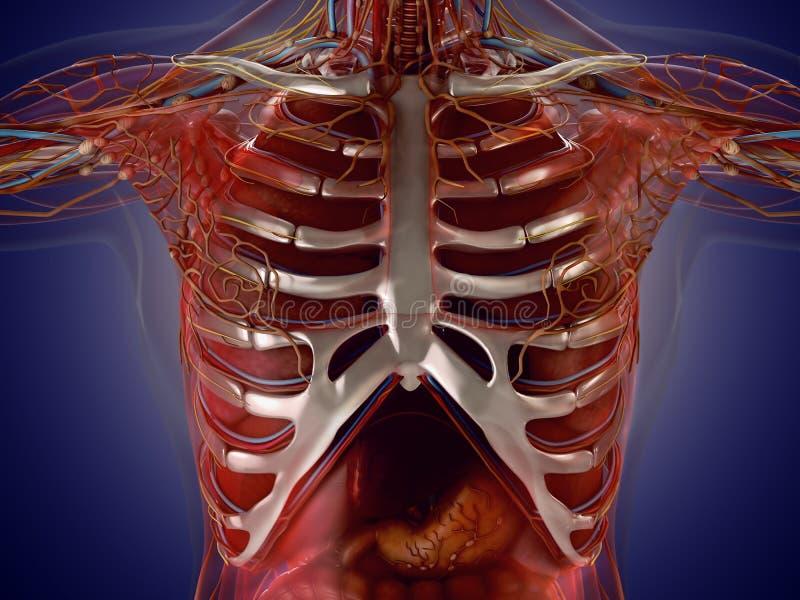 Ziemlich Anatomie Des Menschlichen Organen Zeitgenössisch ...