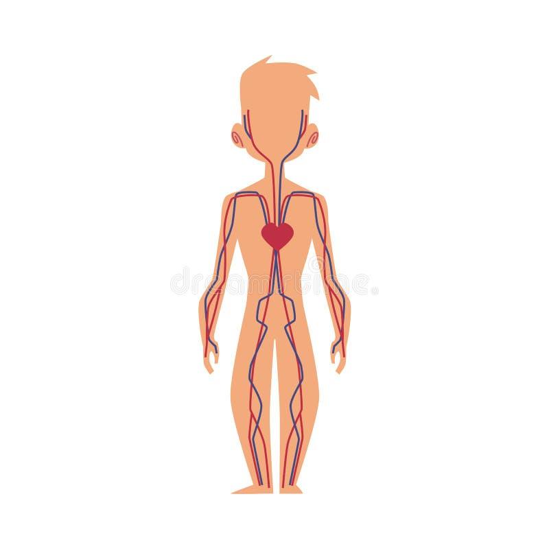Gemütlich Diagramm Der Menschlichen Anatomie Der Inneren Organe ...