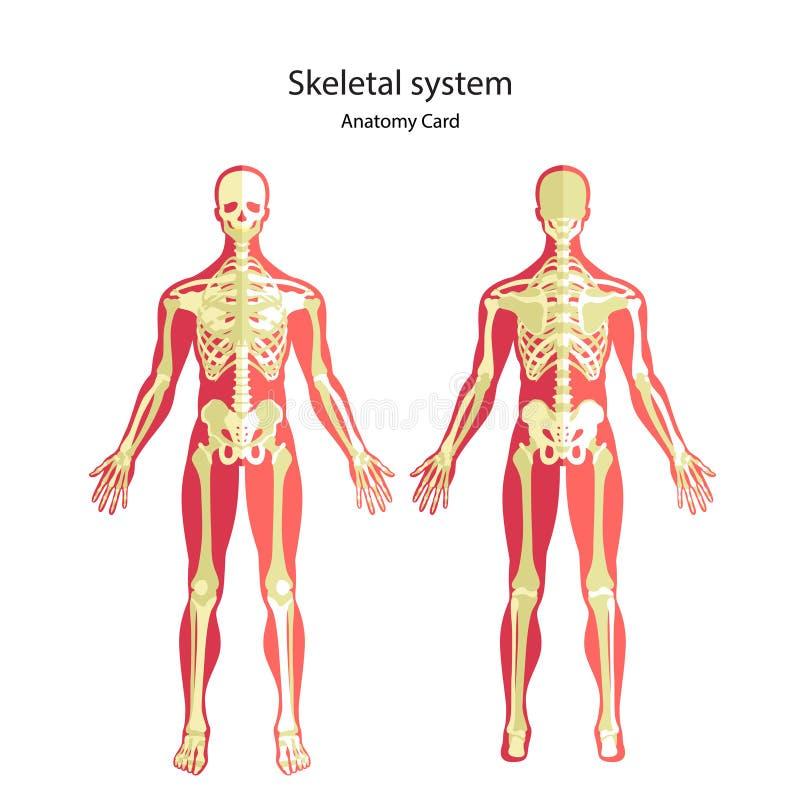 Anatomieführer des menschlichen Skeletts Didaktisches Brett der Anatomie des menschlichen knöchernen Systems Vorder- und Rückseit stock abbildung