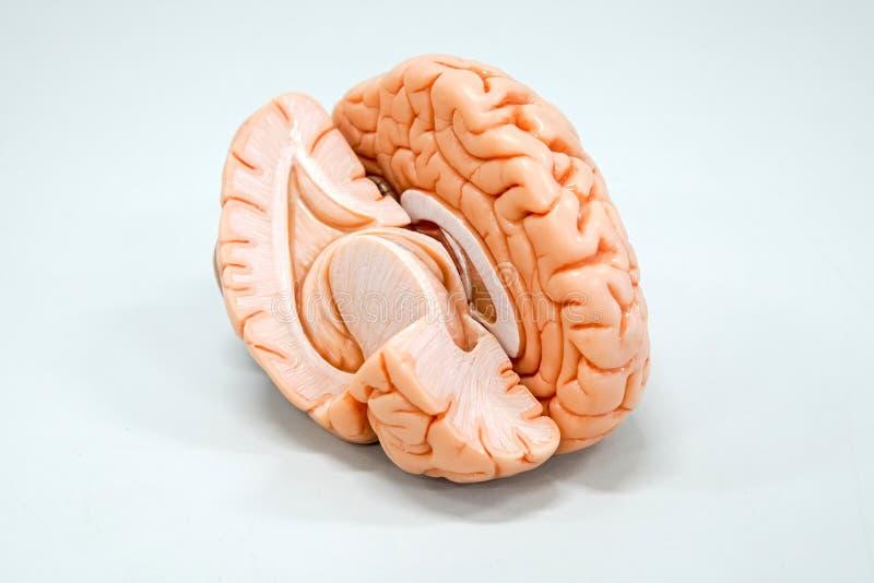 Anatomiemodell des menschlichen Gehirns lizenzfreies stockbild