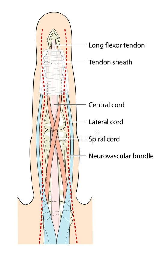 anatomifinger stock illustrationer