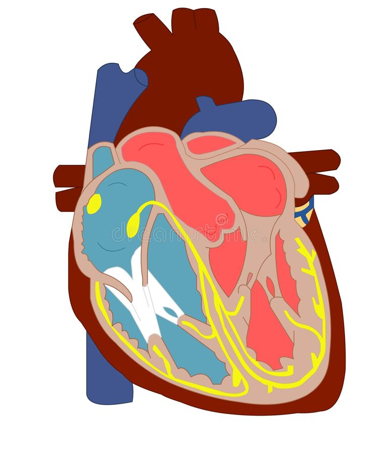 anatomihjärta vektor illustrationer
