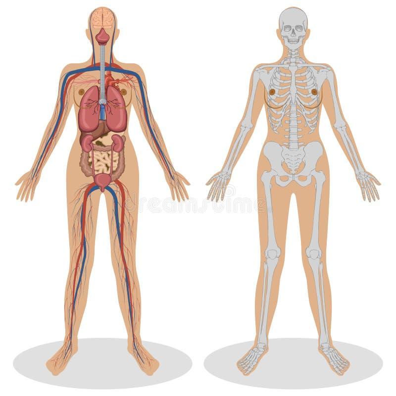 anatomihumankvinna royaltyfri illustrationer