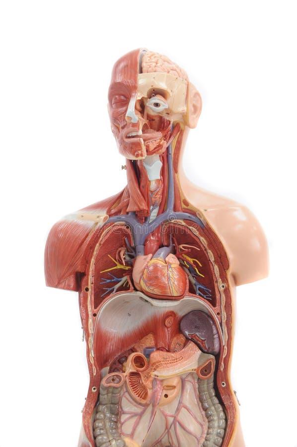anatomihumanmodell arkivbild