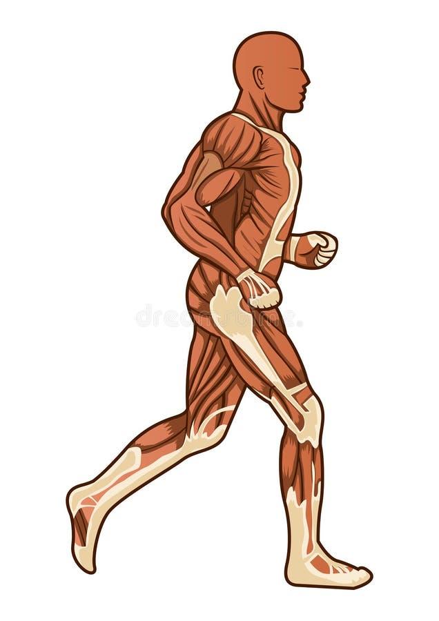 anatomihumanrunning royaltyfri illustrationer