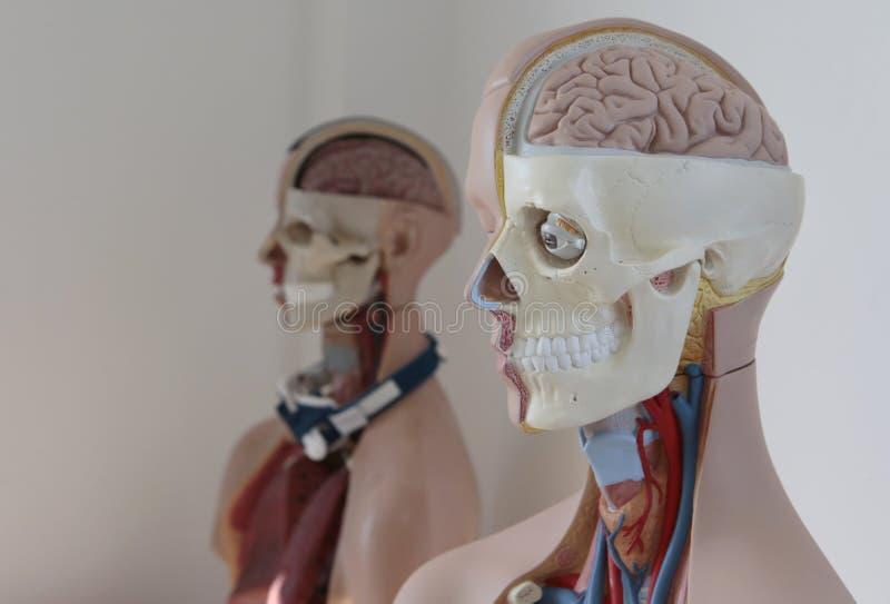 Anatomii atrapy model fotografia stock