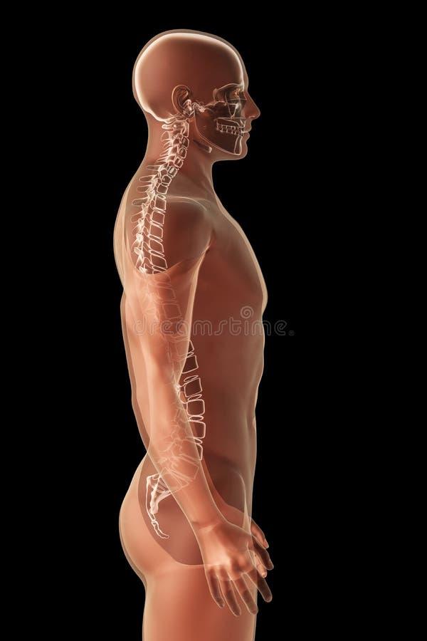 anatomii czerń promień x ilustracji