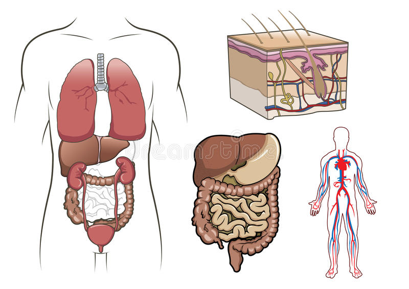 anatomii istota ludzka ilustracja wektor