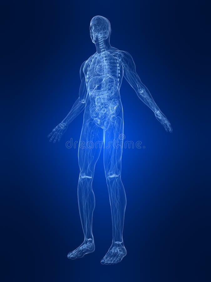 anatomii istota ludzka royalty ilustracja