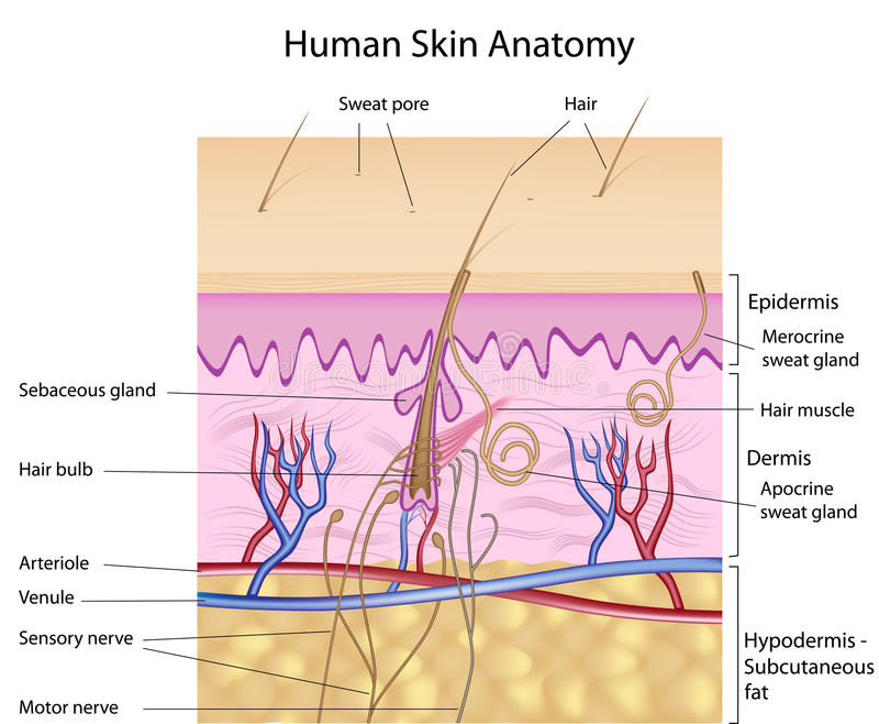 anatomii istota ludzka przylepiać etykietkę skóry wersja ilustracja wektor