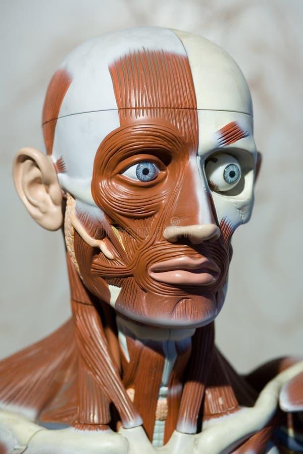 anatomii istoty ludzkiej model obrazy stock