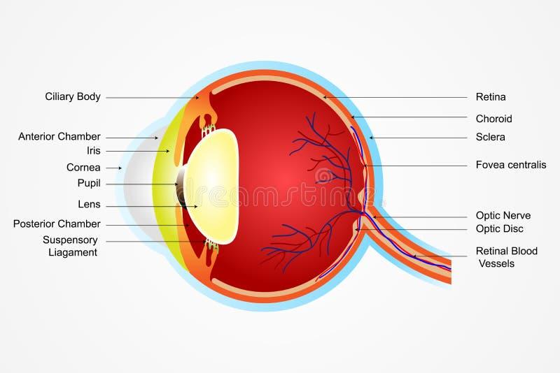 anatomii oko ilustracji