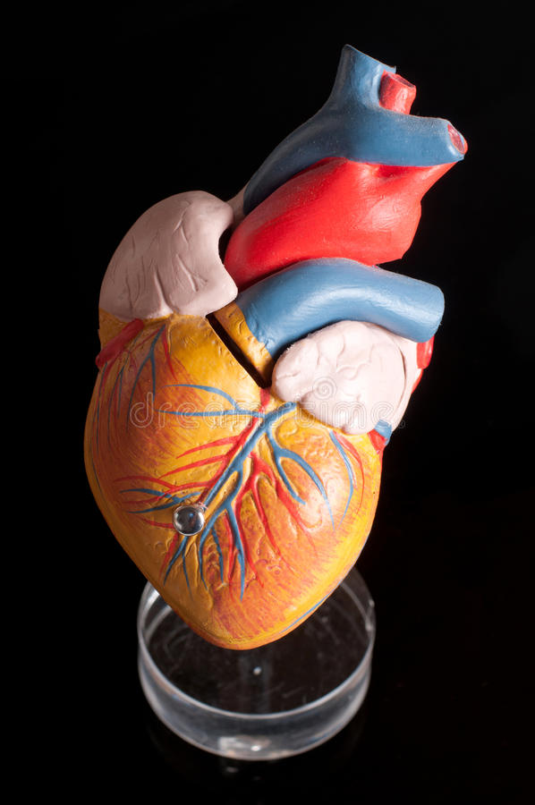 anatomii serca istota ludzka obraz royalty free