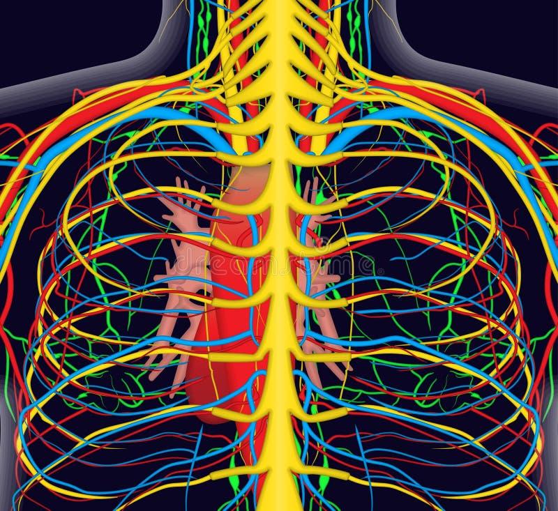 Anatomiillustration av människabaksidabröstkorgen med det nervös och blodsystemet stock illustrationer