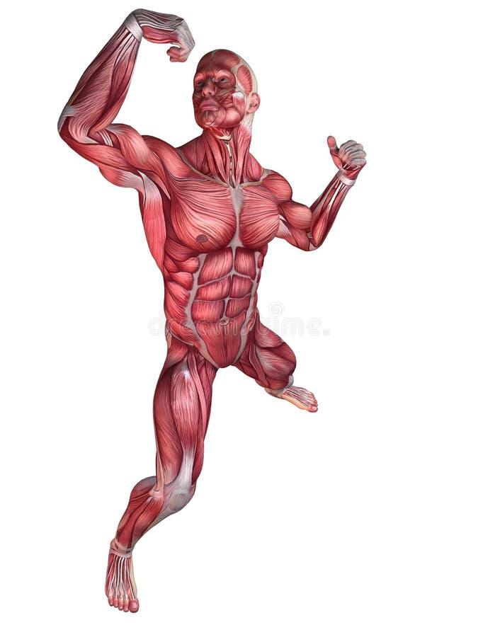 anatomikroppsbyggare royaltyfri illustrationer