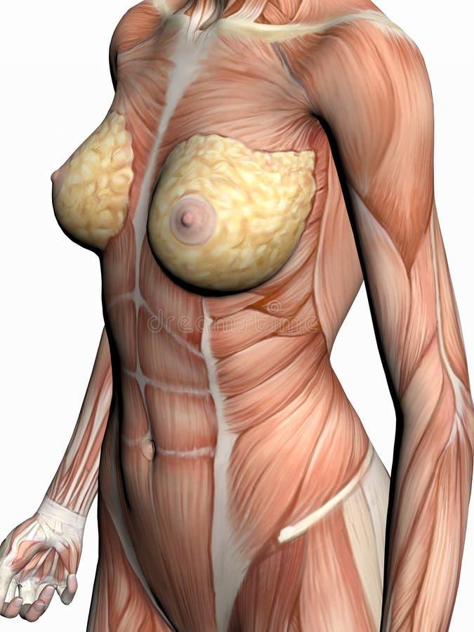 anatomikvinna royaltyfri illustrationer