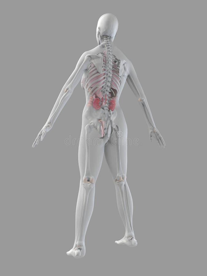 Download Anatomikvinnlig stock illustrationer. Illustration av njure - 3546425