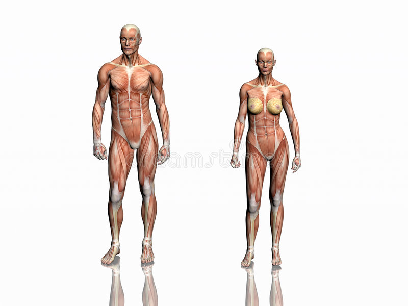 anatomimankvinna vektor illustrationer
