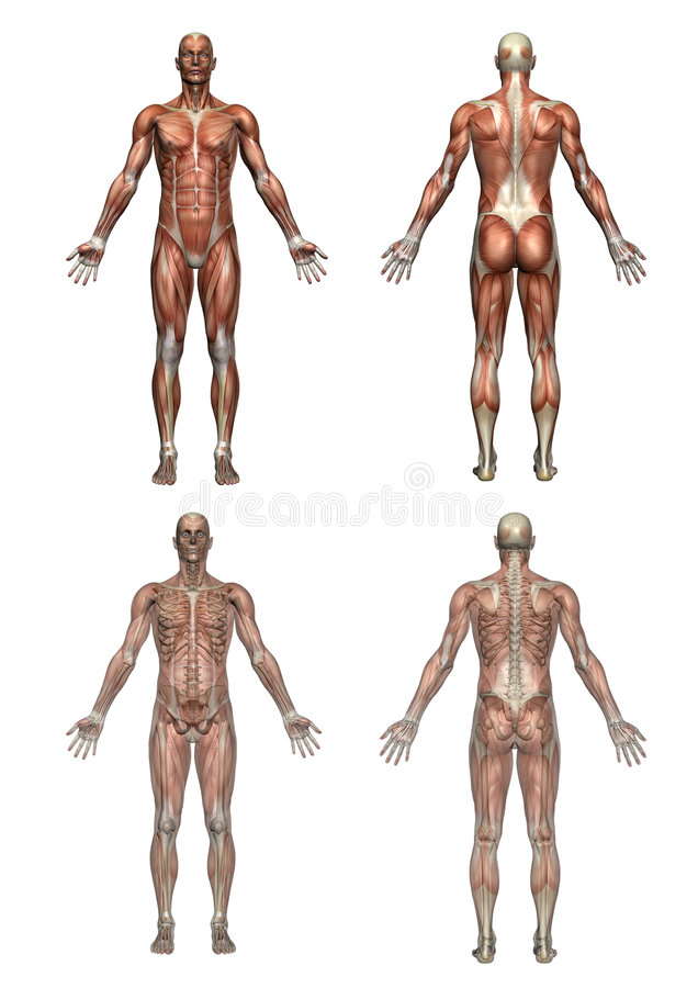 anatomimanlig vektor illustrationer