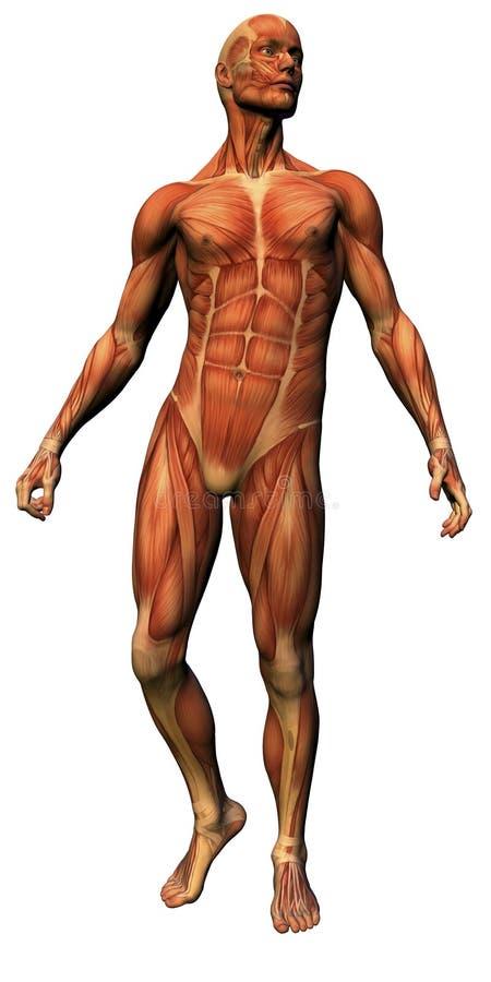 anatomimanligmuskulatur royaltyfri illustrationer