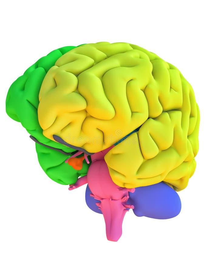 Anatomimodell för mänsklig hjärna med färgade regioner stock illustrationer