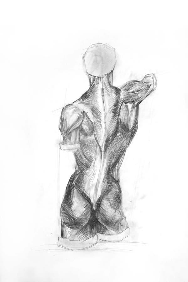 anatomimuskler royaltyfri illustrationer